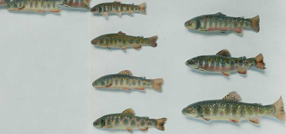 Seven specimens of brook trout taken by Conservation Officers from locations across New York State, c. 1910