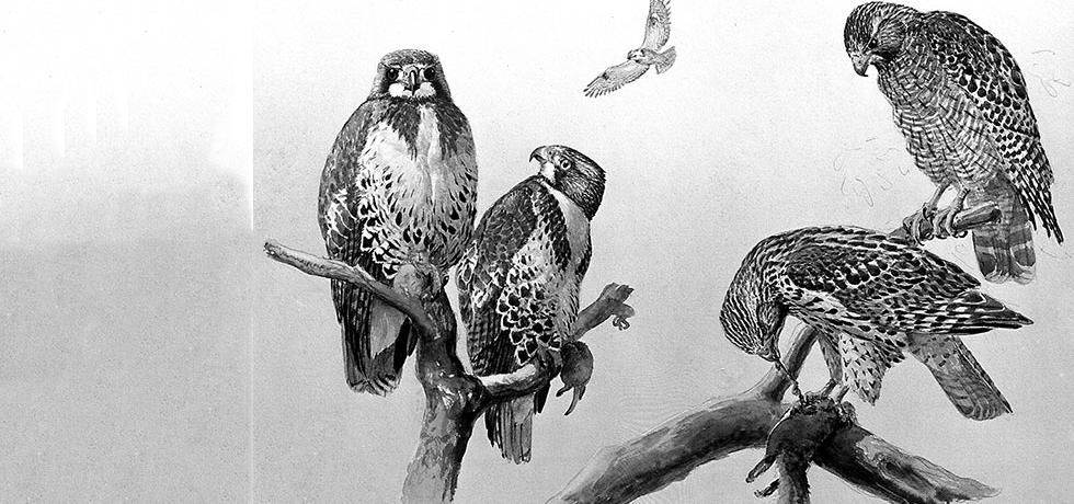"""White List"" of Hawks That Aid Conservation, painted by Louis Agassiz Fuertes"