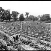 New York. Picking strawberries near Middle Hope