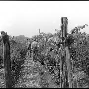 New York. Field of grapes, currants and berries. Near Middle Hope
